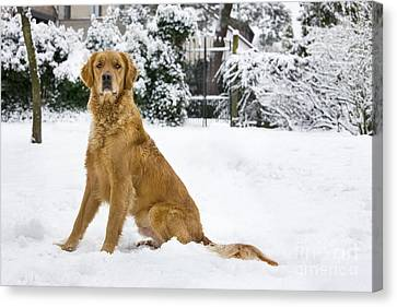 Golden Retriever In Snow Canvas Print by Johan De Meester