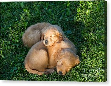 Golden Retriever Puppies Sleeping Canvas Print by Linda Freshwaters Arndt