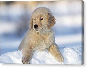 Golden Retriever Puppy Dog Canvas Print by Rolf Kopfle