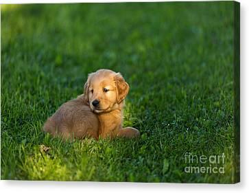 Golden Retriever Puppy Canvas Print by Linda Freshwaters Arndt