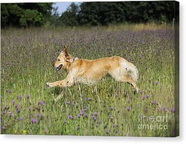 Golden Retriever Running Canvas Print by John Daniels