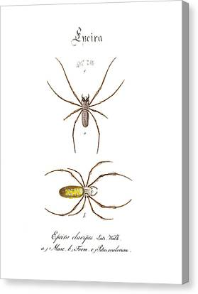 Nephilidae Nephila Canvas Print - Golden Silk Spiders by Biodiversity Heritage Library