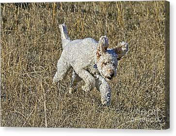 Goldendoodle Running Canvas Print by William H. Mullins