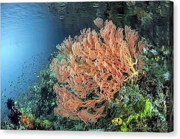 Gorgonian Sea Fan Canvas Print by Ethan Daniels