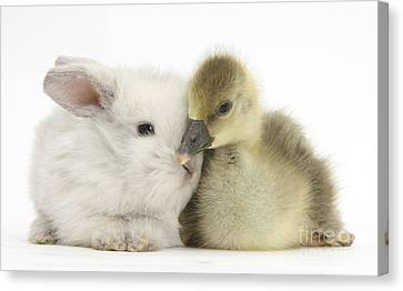 Gosling And Baby Bunny Canvas Print by Mark Taylor