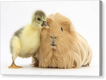 Gosling And Guinea Pig Canvas Print by Mark Taylor