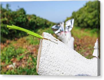 Grafting In An Avocado Plantation Canvas Print by Photostock-israel