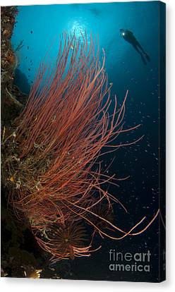Grand Sea Whip With Diver Canvas Print by Steve Jones