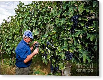 Grape Pickers Canvas Print - Grape Harvest, Italy by Tim Holt
