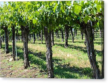 Grape Vines In A Row Canvas Print by Brandon Bourdages