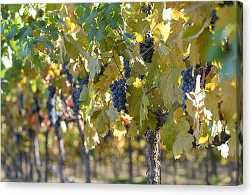 Wine Canvas Print - Grape Vineyard In Autumn by Brandon Bourdages