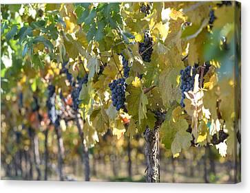 Grape Vineyard In Autumn Canvas Print by Brandon Bourdages