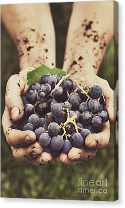 Grapes Harvest Canvas Print by Mythja  Photography