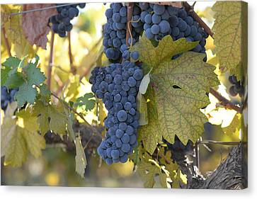 Grapes On The Vine In Autumn Canvas Print by Brandon Bourdages