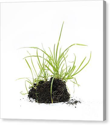 Grass Seedling Canvas Print