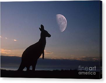 Kangaroo Canvas Print - Gray Kangaroo by Mark Newman