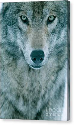 Gray Wolf Canvas Print by Jeffrey Lepore