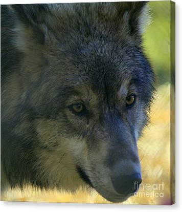 Gray Wolf Canvas Print by Neal Eslinger