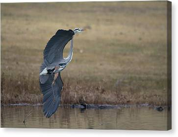 Great Blue Flight Manuever Canvas Print