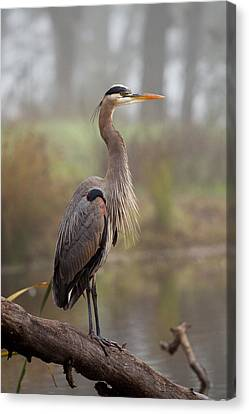 Great Blue Heron Canvas Print by Doug Herr