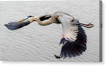 Great Blue Heron In Flight Canvas Print by Paulette Thomas