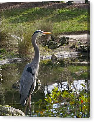 Great Blue Heron Canvas Print by Jim Hubbard