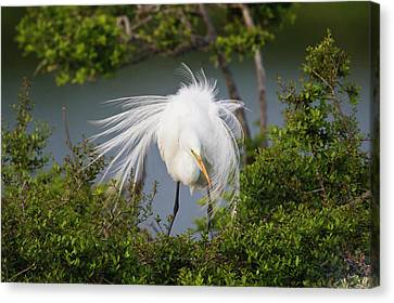 Great Egret (ardea Alba Canvas Print by Larry Ditto
