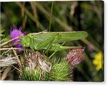 Great Green Bush-cricket Canvas Print