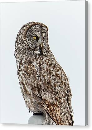 Great Grey Canvas Print