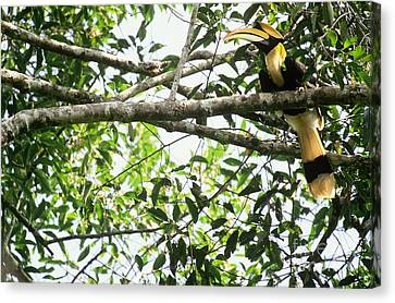 Hornbill Canvas Print - Great Pied Hornbill by Art Wolfe