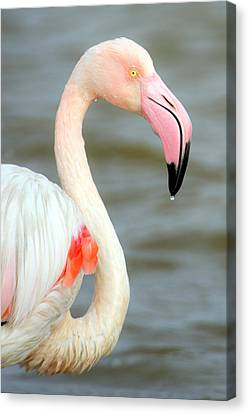 Greater Flamingo Phoenicopterus Roseus Canvas Print