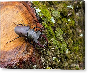 Greater Stag Beetle Canvas Print by Bob Gibbons