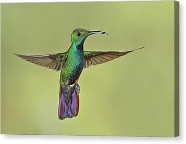 Green-breasted Mango Costa Rica Canvas Print by Glenn Bartley