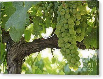Green Grapes On Vineyards In Summer Canvas Print by Sami Sarkis