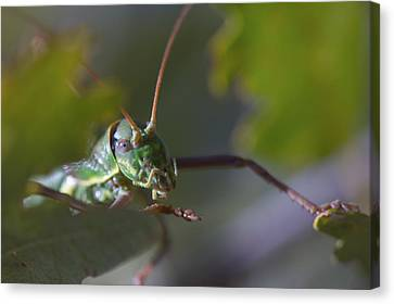 Canvas Print featuring the photograph Green Grasshopper Ephippiger by Jivko Nakev