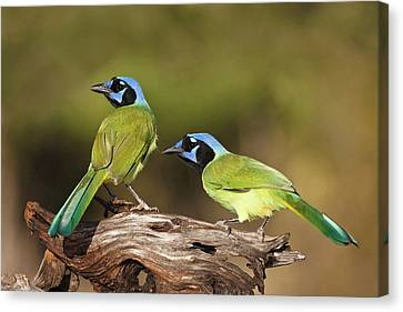 Green Jays (cyanocoras Yncas Canvas Print by Larry Ditto
