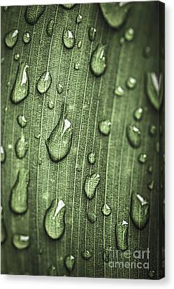 Green Leaf Abstract With Raindrops Canvas Print by Elena Elisseeva