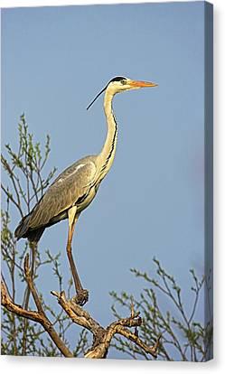 Grey Heron (ardea Cinera Canvas Print by Martin Zwick