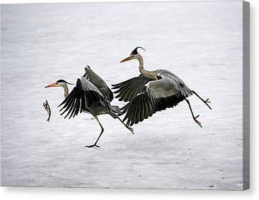 Grey Herons Fighting Over A Fish Canvas Print