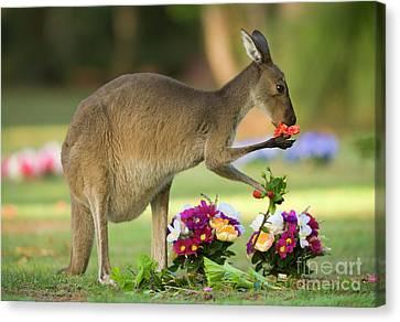 Grey Kangaroo In Graveyard Canvas Print by Yva Momatiuk John Eastcott