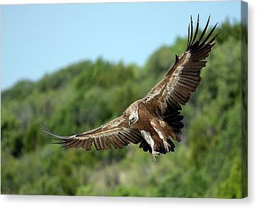 Griffon Vulture Canvas Print by Nicolas Reusens