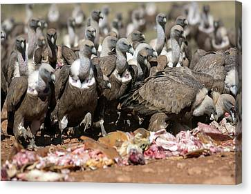 Griffon Canvas Print - Griffon Vultures Feeding by Nicolas Reusens