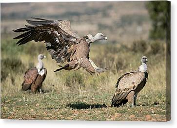 Griffon Vultures Canvas Print by Nicolas Reusens