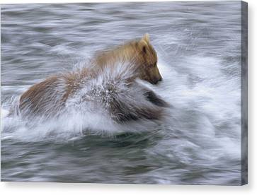 Grizzly Bear Chasing Fish Canvas Print by Matthias Breiter