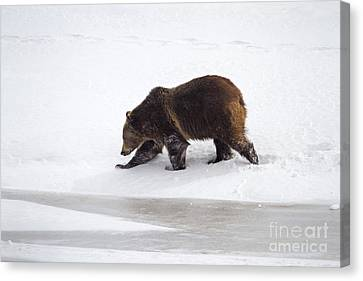 Grizzly Bear Walking In Snow Canvas Print by Mike Cavaroc