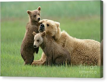 Grizzly Cubs Play With Mom Canvas Print by Yva Momatiuk John Eastcott