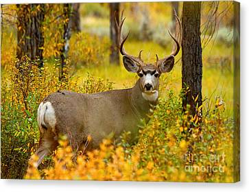 Canvas Print featuring the photograph Gros Ventre Buck by Aaron Whittemore