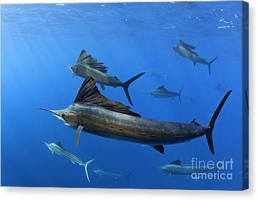 Group Of Sailfish Swimming In Blue Tropical Ocean Waters Canvas Print by Brandon Cole