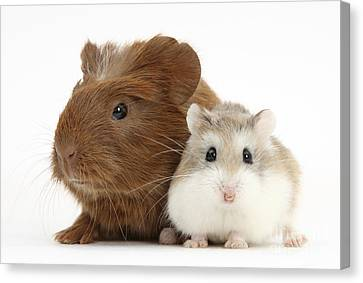 House Pet Canvas Print - Guinea Pig And Hamster by Mark Taylor