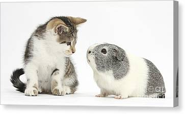 Guinea Pig And Kitten Canvas Print by Mark Taylor